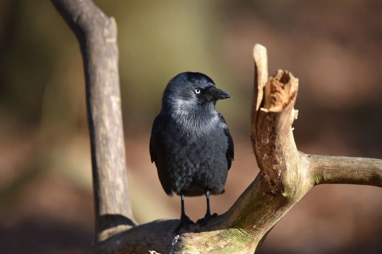 jackdaw Jackdaw EyeEm Selects Bird Animal Wildlife Beak Animals In The Wild Nature Black Color No People Close-up Full Length Outdoors Day Perching Animal Themes Beauty In Nature Tree