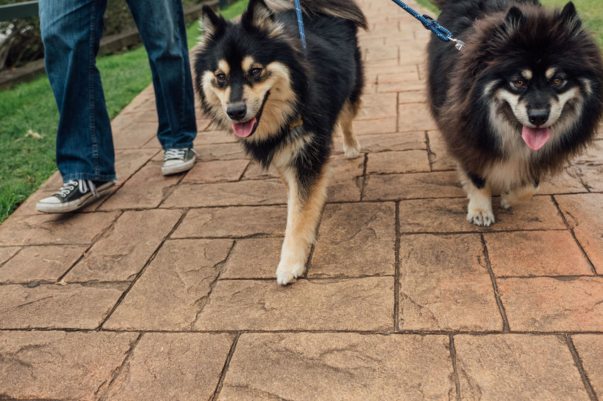 Finnish Lapphund dogs on a walk. Animal Themes Close-up Day Dock Dog Domestic Animals Finnish Lapphund Fluffy Health Landscape Leash Looking At Camera Mammal Man Outdoors Park Pet Pets Portrait Walk Walking