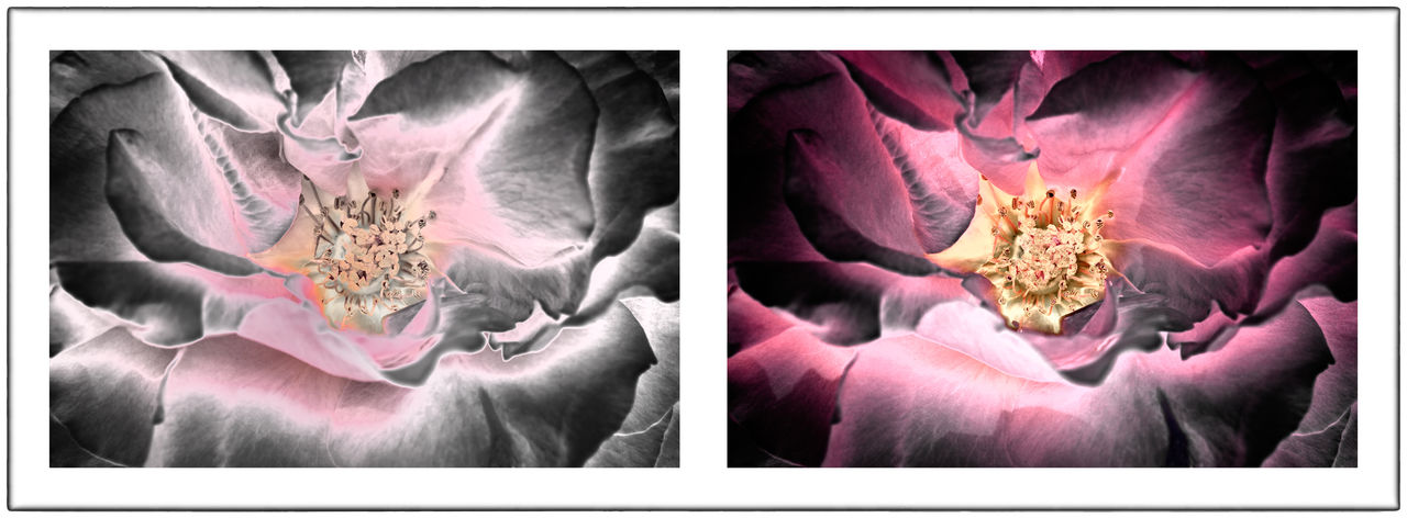 Diptych Flowers Diptychs Flower Flowers Pairs Pink Rosé Solarization Solarized Flowers