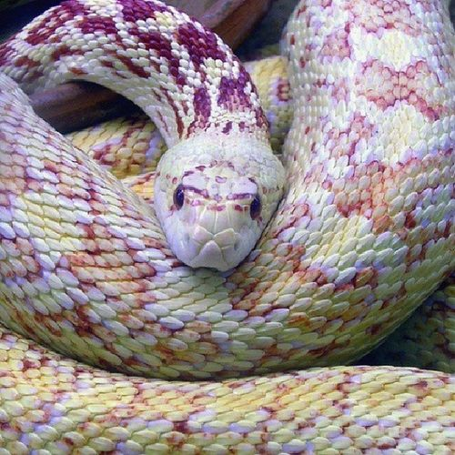 Not my pic & not sure what type of snake this is but... I WANT ONE!!!! Exoticsnakes Exoticpets Beautiful Exotic eyelashviper reptilesofinstagram snakes snakesofinstagram coolpets herper reptilelover iwantone vinesnake instasnakes unique mysnake instapets ilovemypets asianvinesnake python snakeowner killereyes reptiles vipersofinstagram mypets rearfanged mypassion viper herpergirl lovinglife ♥♥♥