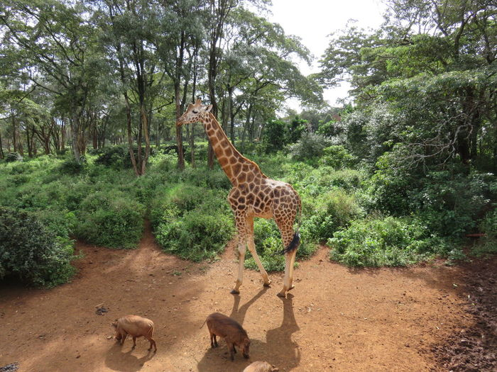 Animal Themes Animal Wildlife Animals In The Wild Beauty In Nature Day Forest Giraffe Growth Herbivorous Mammal Nature No People Outdoors Safari Animals Tree Young Animal Zebra First Eyeem Photo