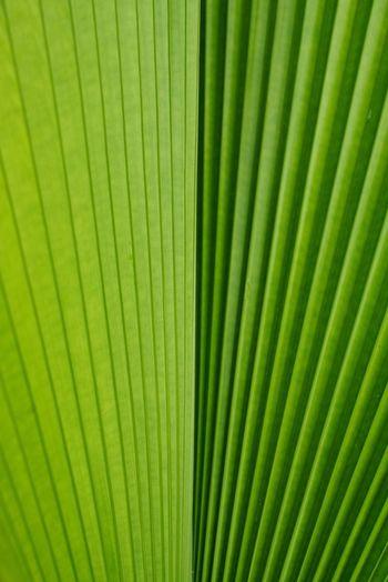Green Color Palm Tree Palm Leaf Leaf Nature Backgrounds Close-up Tree No People Freshness Fiji Palm