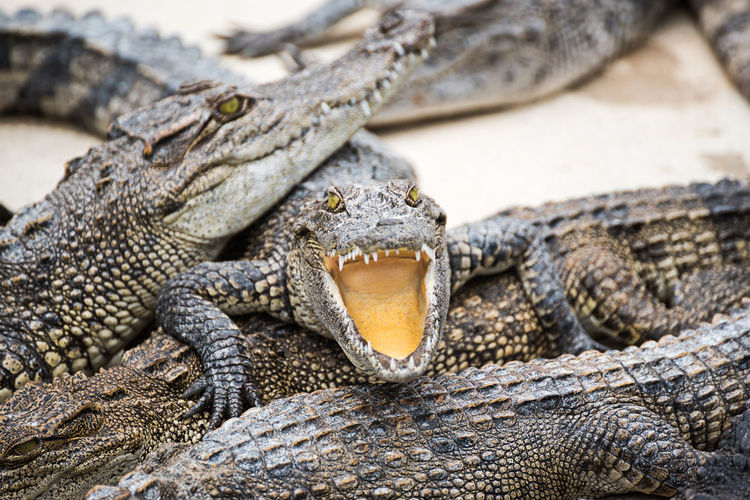 Close-up of crocodiles