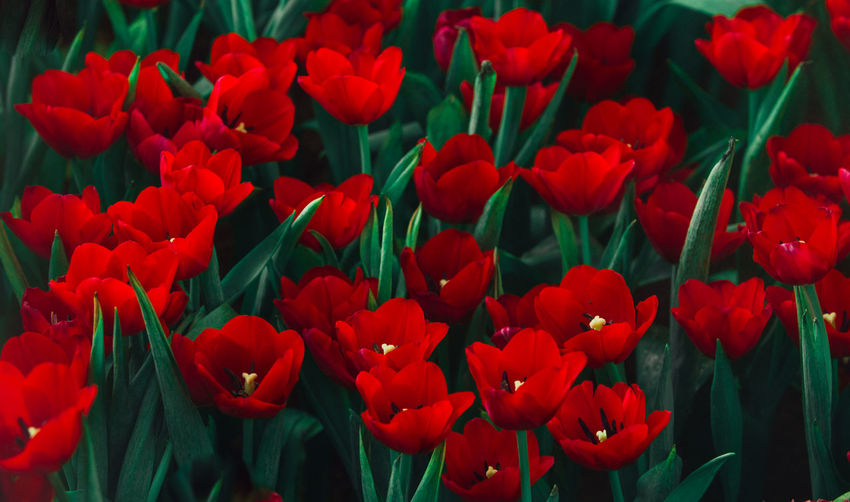 Red tulip. Beauty In Nature Close-up Day Flower Flower Head Flowering Plant Freshness Full Frame Growth Nature Outdoors Petal Plant Red Tulip Vulnerability