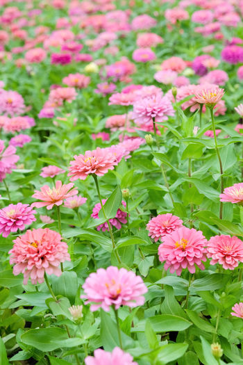 Pink daisy gerbera flowers in garden Garden Flowers Beauty In Nature Blooming Close-up Daisy Gerbera Flowers Day Flower Flower Head Fragility Freshness Gerbera Gerbera Daisy Green Color Growth Leaf Nature No People Outdoors Petal Pink Color Pink Daisy Pink Flower Plant Zinnia