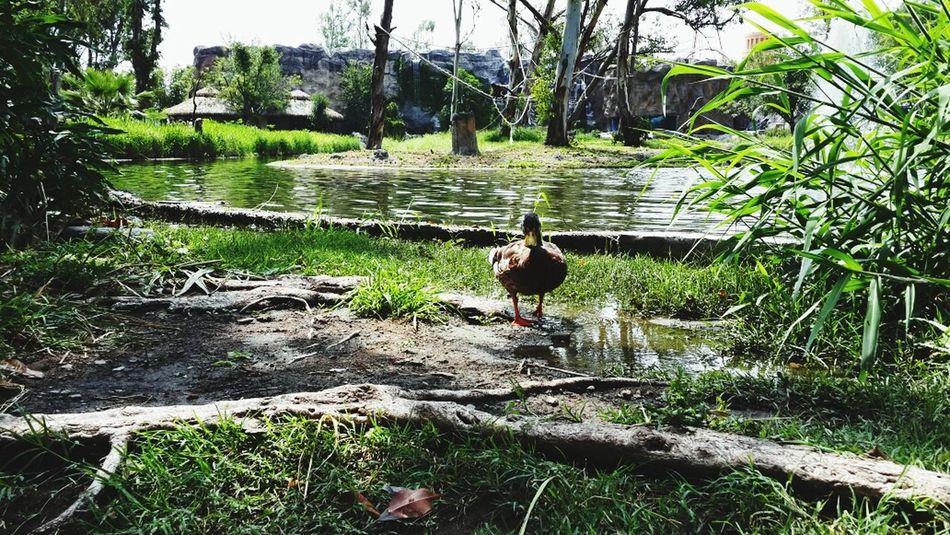 Ducks Nature Amimals