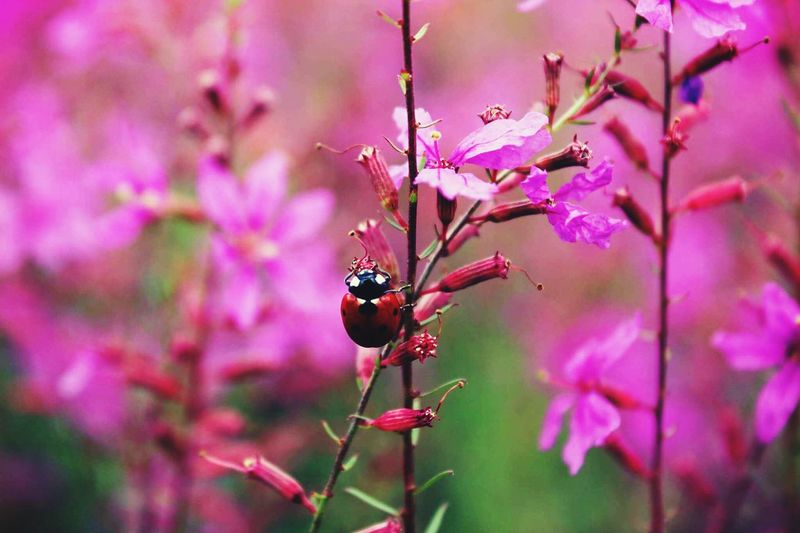 Visit this little buddy inside the purple world. Ladybird Flower Photography Colourful Nature Gemmaana Canonphotography Macrolife Purple First Eyeem Photo Welcome Weekly Welcomeweekly First Eyem Photo