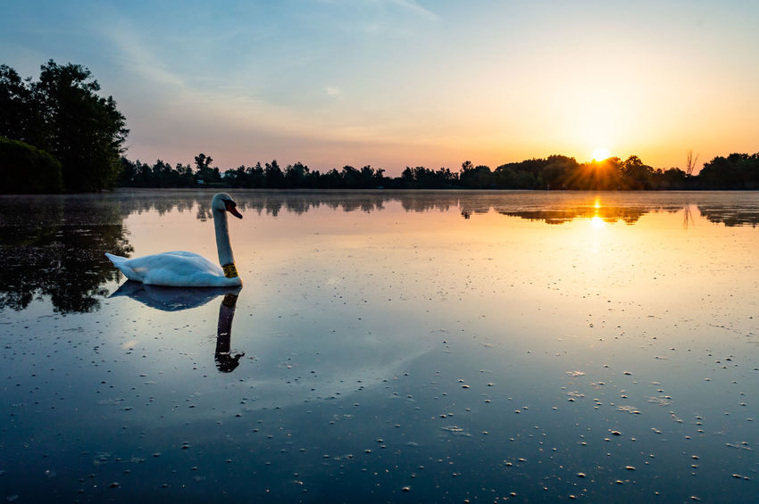 Sunrise, lake, swan Beauty In Nature Cloud - Sky Lake Nature Non-urban Scene One Person Orange Color Outdoors Plant Real People Reflection Scenics - Nature Sky Sunset Swan Tranquil Scene Tranquility Tree Water Waterfront