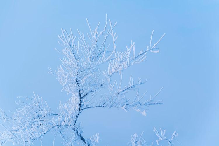 Close-up of frozen plant against blue sky