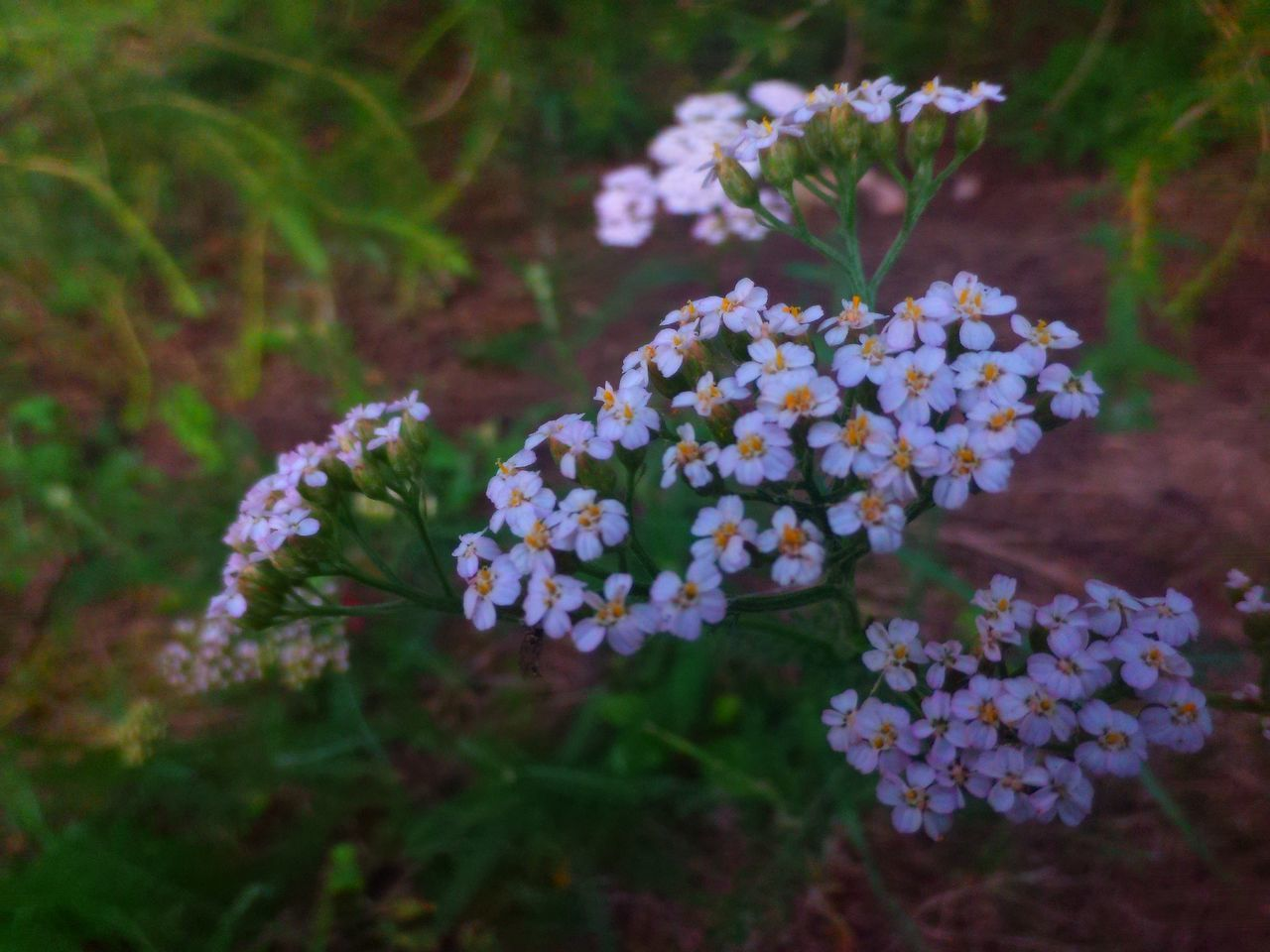 flower, nature, beauty in nature, fragility, plant, freshness, no people, growth, lantana camara, outdoors, day, flower head, close-up, lilac, blooming