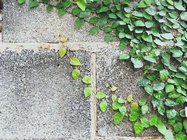 Leaf Green Color Day Outdoors Ivy Textured  No People Lvy Leaf Lvy Slab Flap Nature Light