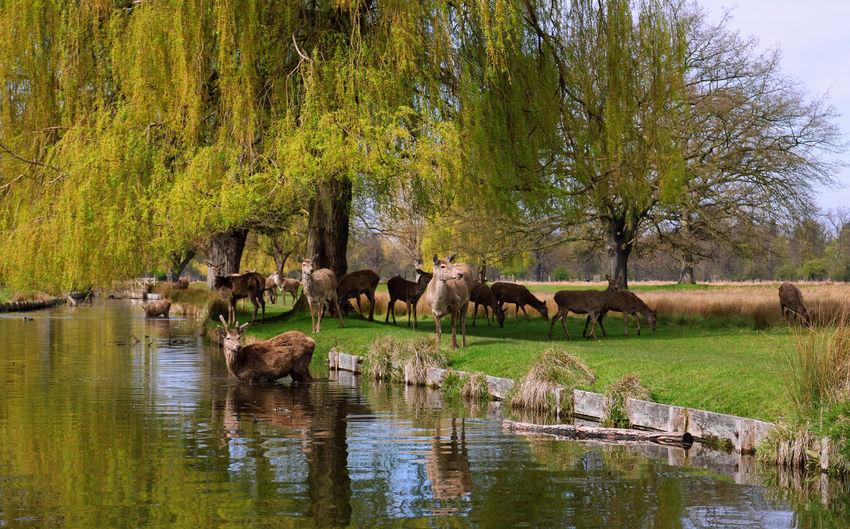 Spring Deer. Bushy Park Deer Nature Stag Teddington Trees United Kingdom Water