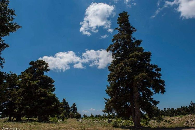 Tree Tree Area Forest Blue Pine Tree Pinaceae Mountain Tree Trunk Social Issues Sky