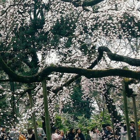 Huge Tree Tree Rikugien Garden 1695-1702 Streetphotography Tokyo Japan Spring Nature Naturelover Cherry Blossoms Streetphotography Eyeem Spring Eyeem Nature EyeEM Tokyo EyeEm Japan Eyeem Photography Special Place Of Scenic Beauty