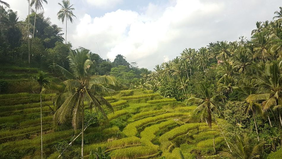 Nature Growth Agriculture No People Beauty In Nature Outdoors Terraced Field Freshness Bali, Indonesia Ricefields Ricefield View Green Nature Naturephotography Nature_perfection Tree Social Issues Cloud - Sky Sky Scenics Day Mountain Tree Area