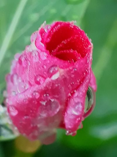 about to bloom i am back more red more water drop more live more charming closed to your eyes from pot to to table pot Flower Head Flower Water Pink Color Petal Drop Peony  Close-up Plant RainDrop Dew Wet Water Drop Plant Life Monsoon Botany