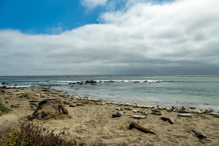 Beach Beauty In Nature Cloud - Sky Day Elephant Seals Horizon Over Water Idyllic Landscape Nature No People Outdoors Pacific Coast Pacific Coast Highway Piedras Blancas Sand Scenics Sea Seals Sky Tranquil Scene Tranquility Water