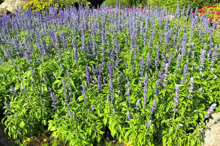 Flower fountain - Blue Salvia flower in the garden Aromatherapy Blue Salvia (salvia Farinacea) Flowers Blooming In The Garden Nature Blue Salvia Fountain Flower Garden Park Salvia Flowers