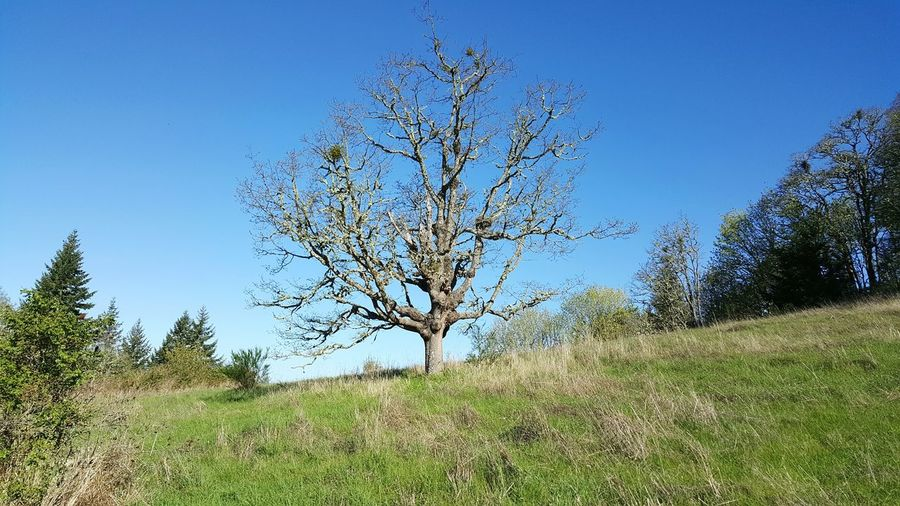 """""""even when i'm standing alone, i'm still standing."""" - the tree on the hill. Tree Bare Tree Nature Hill Blue Sky Solemn Quiet Moments Spring Oregon Mountpisgah Theclimb"""