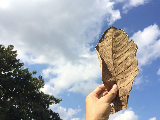 Hand holding dried leave on sky background./ concept idea with copy space Abstract Adult Background Blue Brown Close-up Cloud - Sky Day Dried Dry Freshness Holding Human Body Part Human Hand Leaf Low Angle View Nature One Man Only One Person Outdoors People Photography Real People Sky Tree