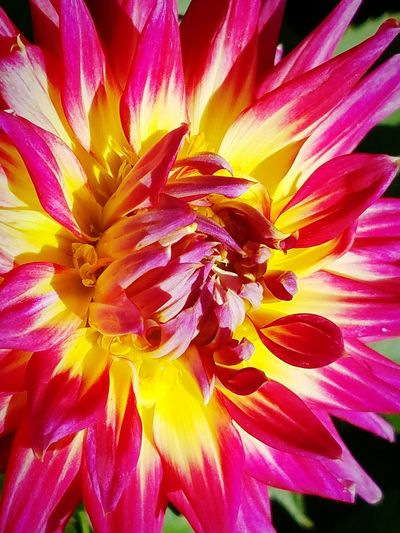 Dahlia Pinkandyellowflower Vividcolors Flowercloseup