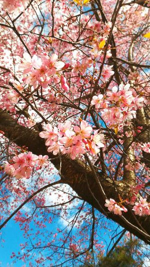 Flower Blossom Cherry Blossom Tree Beauty In Nature Nature