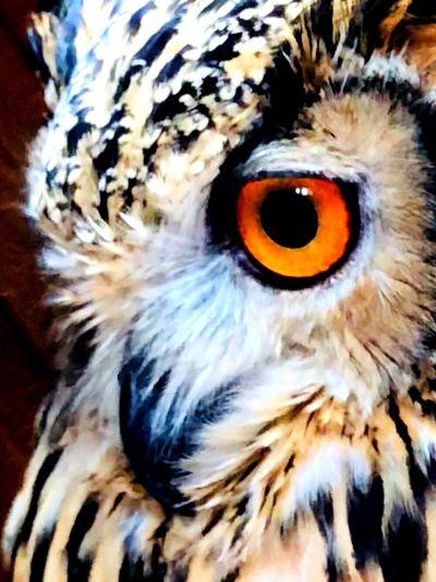 世界を正視する瞳 宝石 睥睨 瞳 フクロウ ベンガルワシミミズク Rock Eagle Owl 魅力的 自然 神の子 神秘 芸術 静寂 モデル 猛禽類 特別 正視 Bird Close-up Animal Eye One Animal Animal Wildlife Animals In The Wild Owl No People Animal Eye