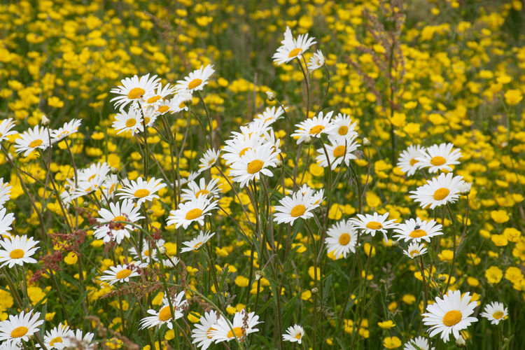 Large group of wild daisies with buttercups behind Buttercups Wildflowers In Bloom Abundance Beauty In Nature Close-up Flower Flower Head Flowering Plant Focus On Foreground Fragility Freshness Growth Petal Plant Vulnerability  Wildflowers Yellow