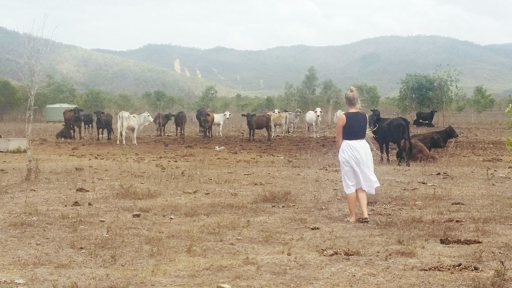 """""""How close you reckon I can get?"""" Chicken. Cows Charged Chicken&cow Paddock Herd Of Cows"""