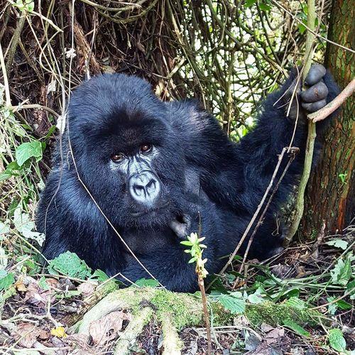 Gorilla Ruanda Volkano National Park