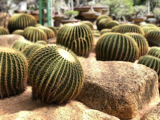 Cactus Barrel Cactus Cactus Succulent Plant Day Sunlight Thorn Nature Plant Growth Beauty In Nature