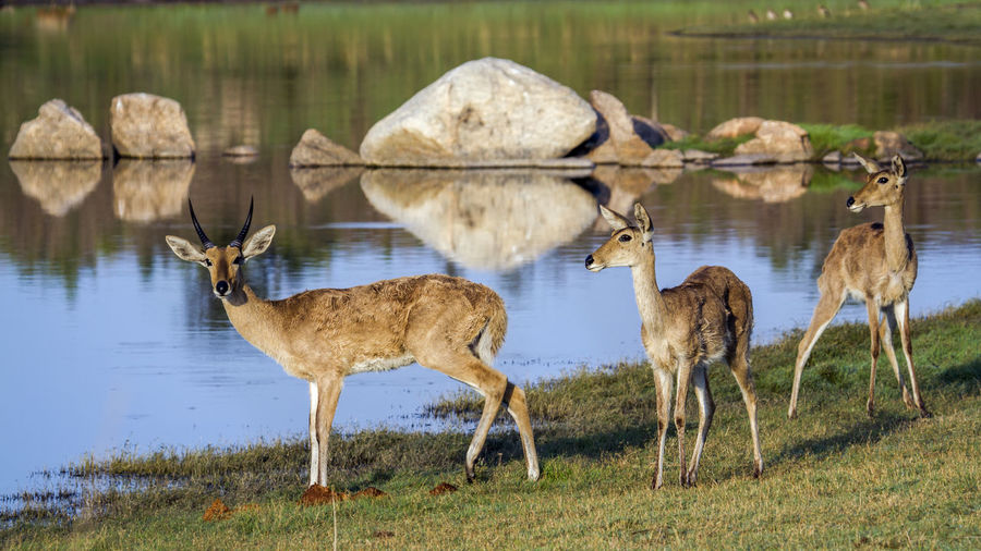 Side view of deer standing by lake on field