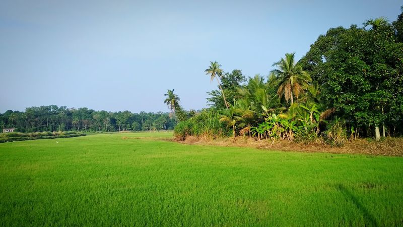 Photography Mobilephotography Photographer Kerala India Scenery Greenery EyeEmNewHere Tree Agriculture Palm Tree Nature Green Color Beauty In Nature Rice Paddy Growth Field No People Landscape Grass Scenics Outdoors Day Rural Scene Clear Sky Sky