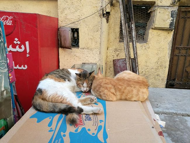Mammal Domestic Animals Animal Themes Pets Feline Cat One Animal No People Day Color Contrasts Building Exterior Egypt Cairo Downtown Outdoors Adapted To The City City Low Section Two Animals Cats Kitty Sleep Relax