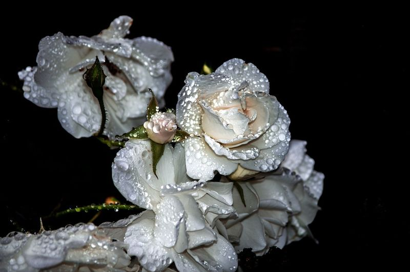 EyeEm Best Shots EyeEm Nature Lover EyeEm Best Edits Beauty In Nature Roses Water Black Background Luxury Beauty Close-up Blooming Flower Head Rosé Pink Fragility In Bloom
