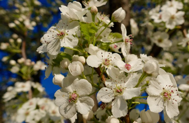 Beauty In Nature Blossom Bradford Pear Close-up Day Flower Flower Head Flowering Plant Focus On Foreground Fragility Freshness Growth Inflorescence Nature No People Petal Plant Pollen Spring Springtime Tree Vulnerability  White Color Vulnerability  Nature Tree