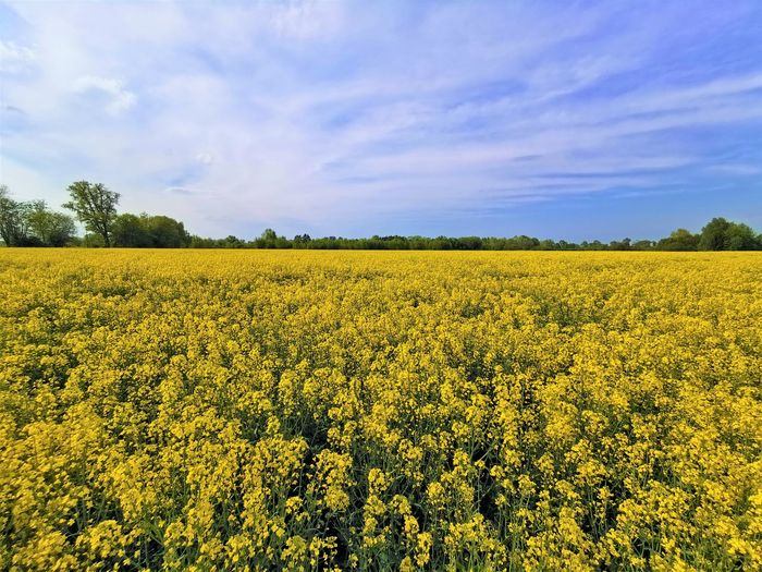 Scenic view of oilseed rape field against sky