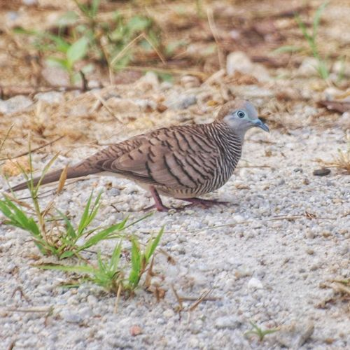 Zebra Dove Geopelia Striata Bird Animals In The Wild One Animal Animal Wildlife Animal Themes Nature Day No People Outdoors Close-up