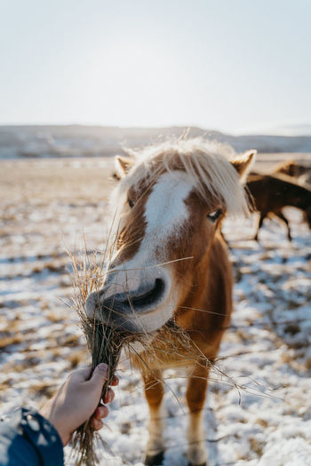 Cropped hand of person feeding horse
