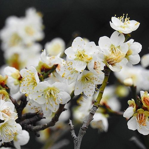 * 可憐な白い梅の花です😃🎵 It is the flower of dainty white plum 😃🎵 * Flowers Flower はな Floweroftheday Plants Naturelove 花 Nature Bestnatureshot 風景 綺麗 眺め Landscape Vista Follow Aichi Hotflower 花言葉 Nagoya Beautiful Flower_japan_nagoya_yama 🎶