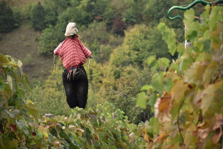 Scarecrow in vineyard