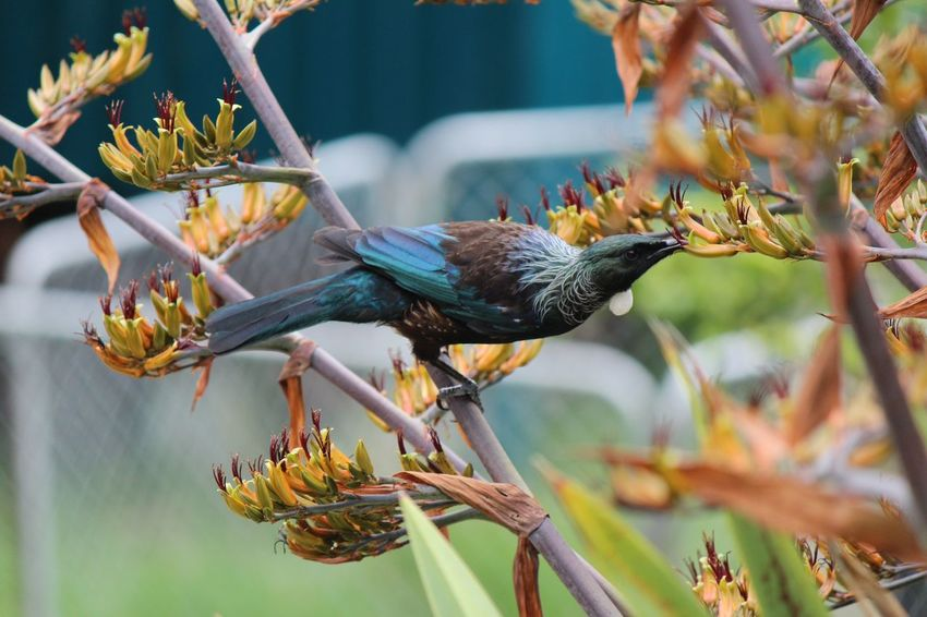 Tui feasting on Flax flowers - Urquharts Bay, Northland, NZ Northland New Zealand Tui Animal Themes Animal Wildlife Animals In The Wild Beauty In Nature Bird Branch Close-up Day Flower Focus On Foreground Food Leaf Nature New Zealand Natural No People One Animal Outdoors Perching Songbird  Tree first eyeem photo