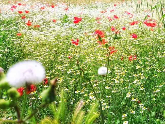 Beauty In Nature Close-up Daisies Daisy Dandelion Day Ear Of Wheat Field Flower Flower Head Fragility Freshness Grass Green Growth Nature No People Outdoors Plant Poppies  Red Spring Weed White Yellow