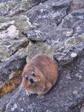 rock hyrax or dassie on the rock on Table Mountain in Cape Town, South Africa. Selective Focus. Animal Themes Animal Wildlife Animals In The Wild Badger Cape Town Dassie Day Hyrax Mammal Mouse Nature No People One Animal Outdoors Rat Rock - Object Rock Hyrax Rodent South Africa Table Mountain