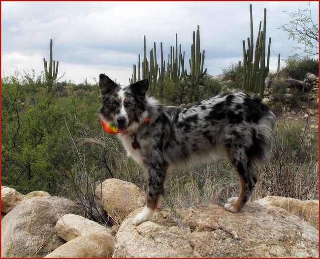 My foster dog, Bella, on a hiking trip through Saguaro National Park, Tucson, AZ Black And White Dog Border Collie Bordercollie  Dog Dog In The Desert Dog On A Rock Dogs Pet Photography