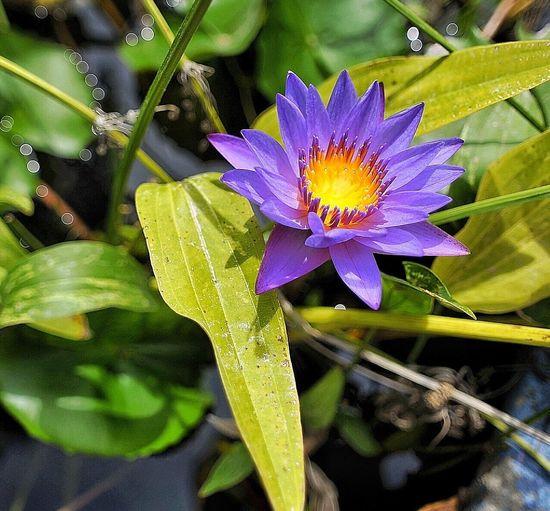 Close-up of purple iris blooming in water