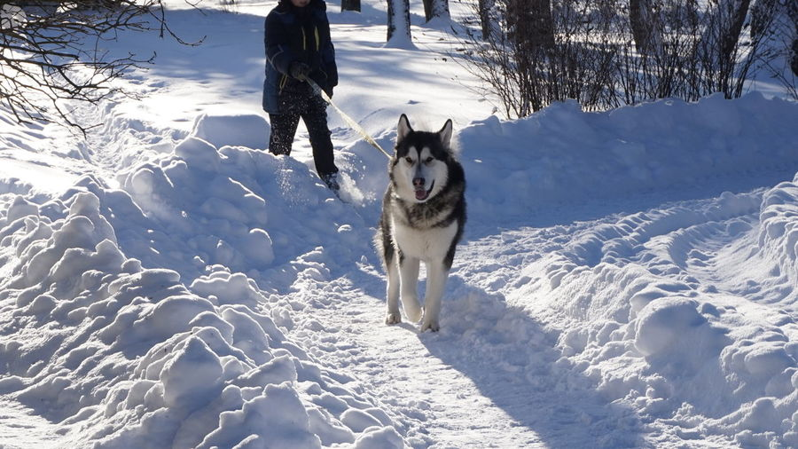 Low section of person holding siberian husky leash on snowcapped field