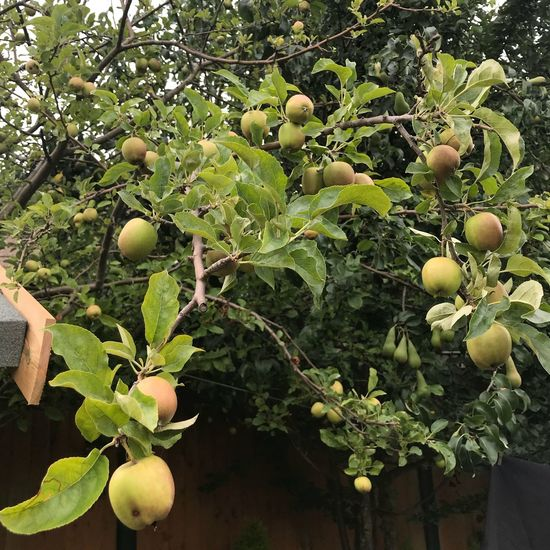 Apple Growth Plant Healthy Eating Food Green Color No People Fruit Tree Freshness Food And Drink Leaf Outdoors Beauty In Nature