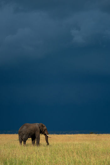 African elephant stands in grass under stormclouds