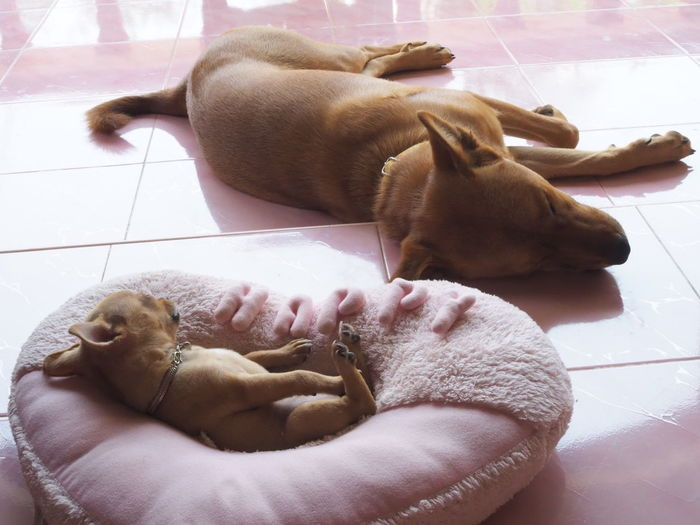 High angle view of a dog resting on tiled floor